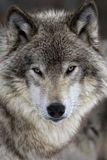 Avatar_profile_d9afff992bf7988c8c5d6d3bd76840bc--grey-wolves-spirit-animal