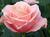 Avatar_public_top_pink-roses-8d